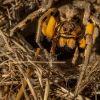 Close-up Of Our Local Tarantula