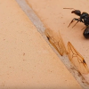 Flying Ant Day - Nuptial Flight (Video)