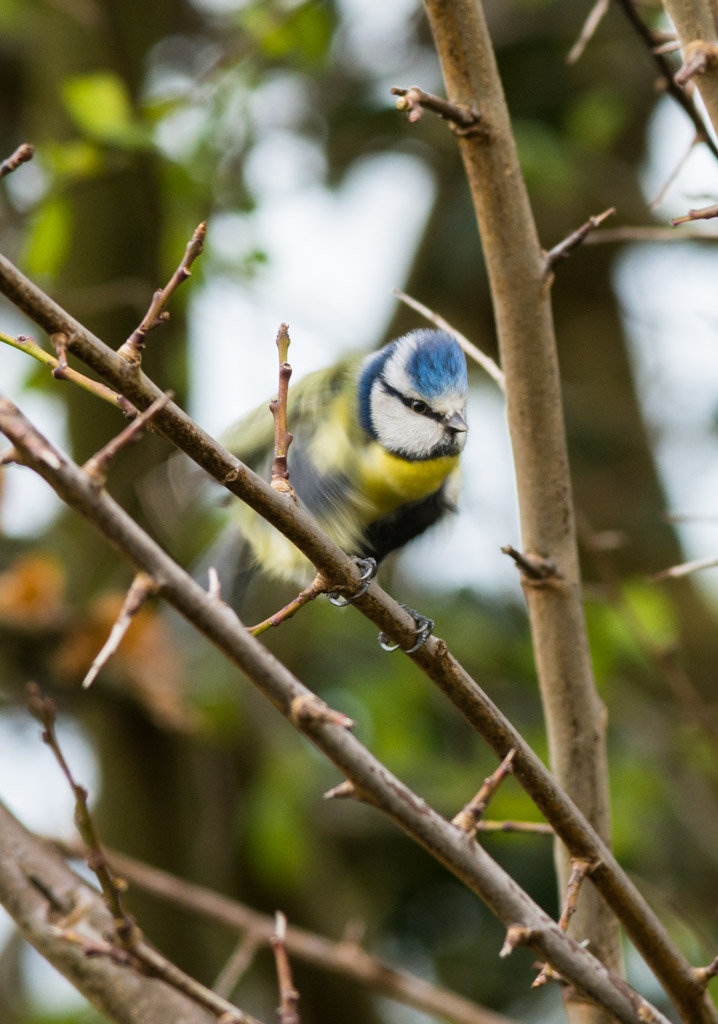 Blue Tit Shaking It's Tail Feathers - D7100, AF-S 300mm f/2.8 with TC14EII @ 500mm, f/8 ISO640, 1/250
