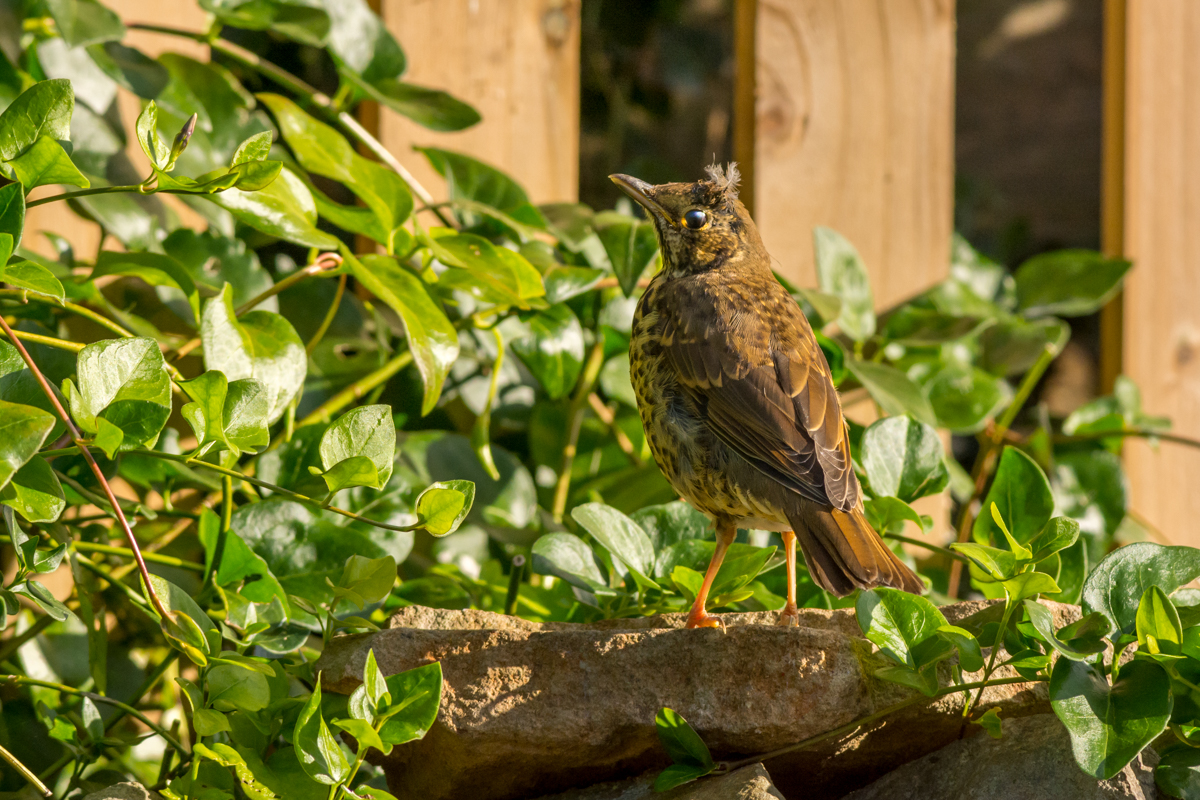 Young Mistle Thrush - D7100, AF-S 300mm f/2.8 with TC17EII @ 500mm, f/8, ISO800, 1/1250sec