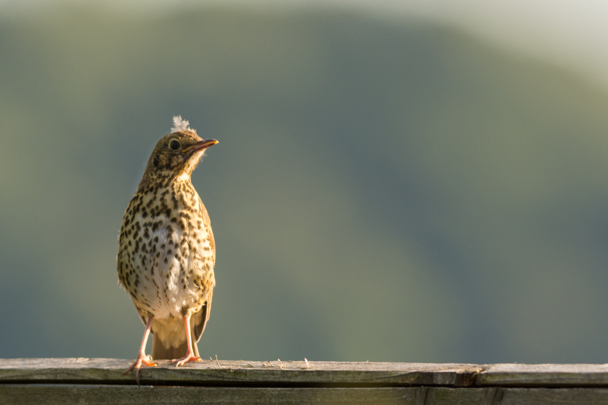 Young Mistle Thrush - D7100, AF-S 300mm f/2.8 with TC17EII @ 500mm, f/6.3, ISO400, 1/640sec