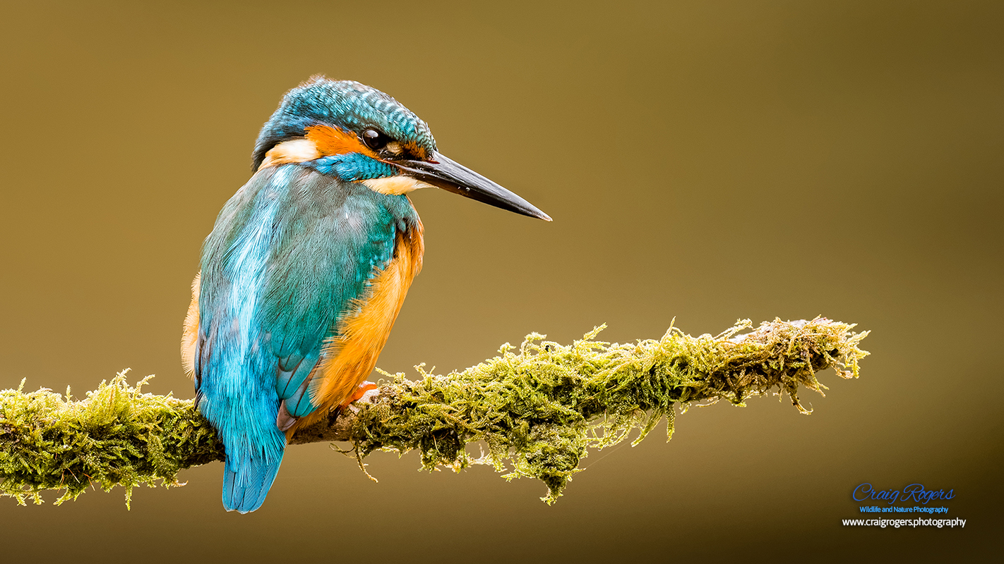 Kingfisher Desktop Background