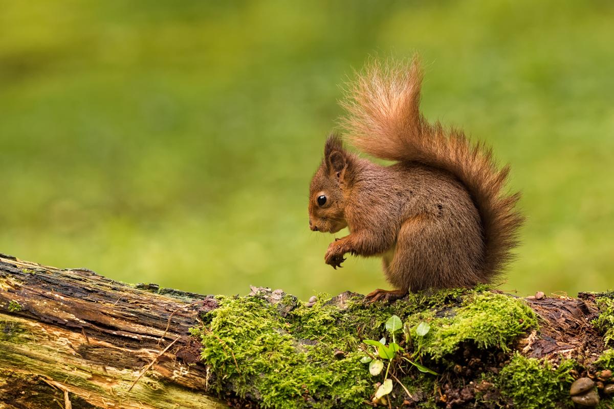 Red Squirrel - D810, AF-S 300mm f/2.8 @ 300mm, f/7.1, ISO1600, 1/80sec
