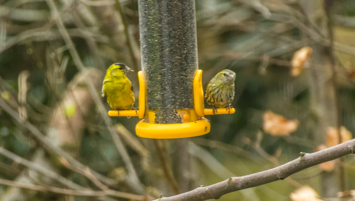 Pair of Siskins